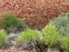 Unusual sight of bright green foliage against the rock of Kata Tjuta