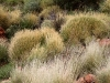 Healthy Spinifex grass