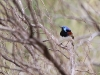 Male Variegated Fairy Wren in all his colour