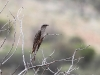 Another view of the Pallid Cuckoo
