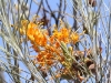 Honeysuckle Grevillea at Kathleen Springs
