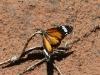 Lesser Wanderer Butterfly