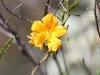 Butterfly Bush (Petalostylis) wildflower, Kathleen Springs