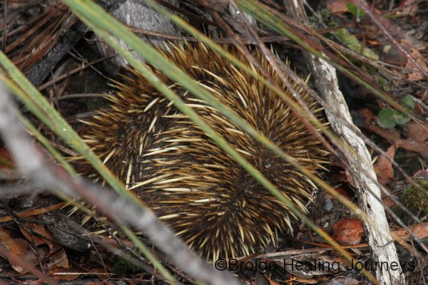 Echidna at Kelly Caves Conservation Park.  The Kangaroo Island subspecies has blonde spines like this one.  We'd almost given up seeing one in the wild until I heard a rustle in the bushes, and there he was!