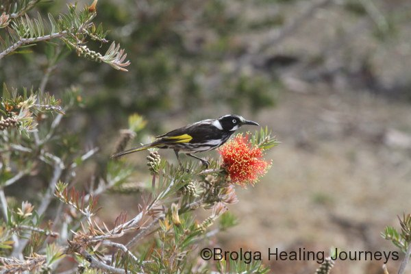 Crimson Bottlebrush under the close attention of a New Holland Honeyeater