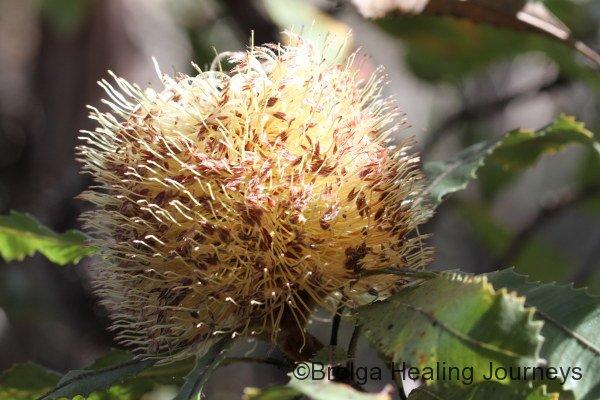 Desert Banksia - Banksia ornata
