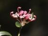Five Veined Grevillea - Grevillea quinquenervis