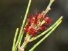 KI Oak Bush - Allocasuarina muelleriana ssp.- Notocolpica