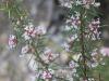 Prickly Grevillea - Grevillea halmaturina