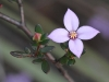 Closeup of Island Boronia