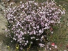 Island Boronia in full bloom