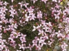 Massed flowering of Island Boronia