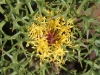 Closeup of Horny Cone-bush - Isopogon ceratophyllus
