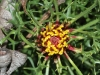 Horny Cone-bush - Isopogon ceratophyllus - a lovely soft-looking plant that is as prickly as hell