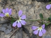Fairy Fanflower - Scaevola aemula