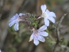 Fanflower - Scaevola sp.