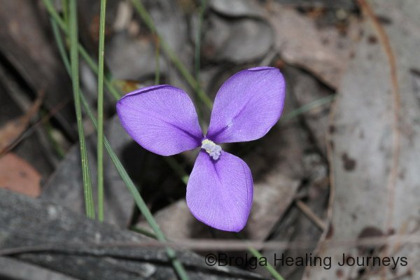 Short Purple Flag - Patersonia fragilis
