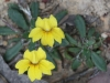 Native Primrose - Goodenia blackiana