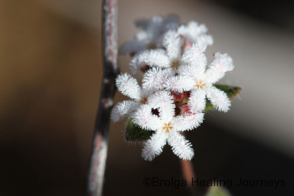 Closeup of Bearded Heath Leucopogon concurvus