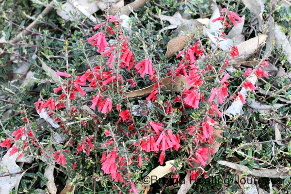 Common Heath - Epacris impressa - in mass flower