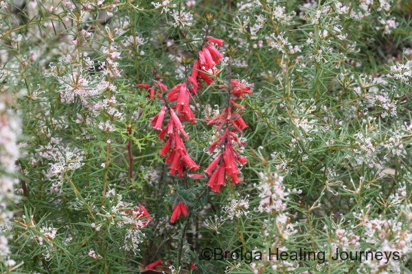 Common Heath framed by Prickly Grevillea