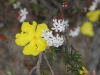 Bearded Heath, with  Hibbertia behind