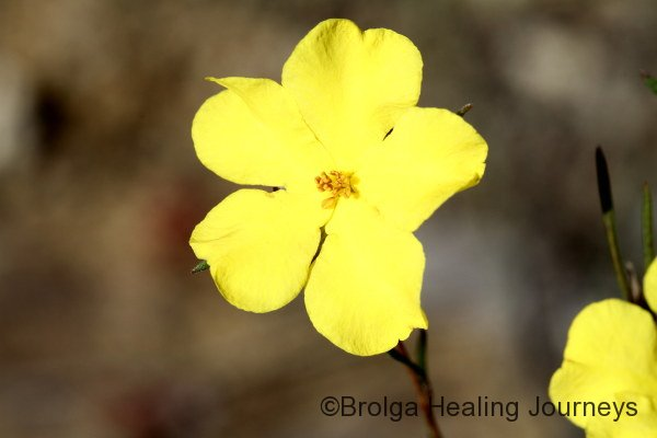 The brilliant yellow of a Guinea-flower - Hibbertia sp.