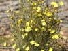 A good specimen of Twiggy Guinea-flower - Hibbertia virgata