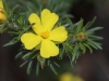 Closeup of Hibbertia sp.