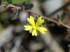 Guinea-flower - Hibbertia species-'B' believe it or not