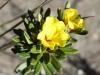 Hairy Guinea-flower - Hibbertia villifera