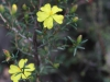 Twiggy Guinea-flower -I think - Hibbertia virgata