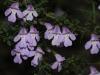 Spiny Mintbush - Prostanthera spinosa