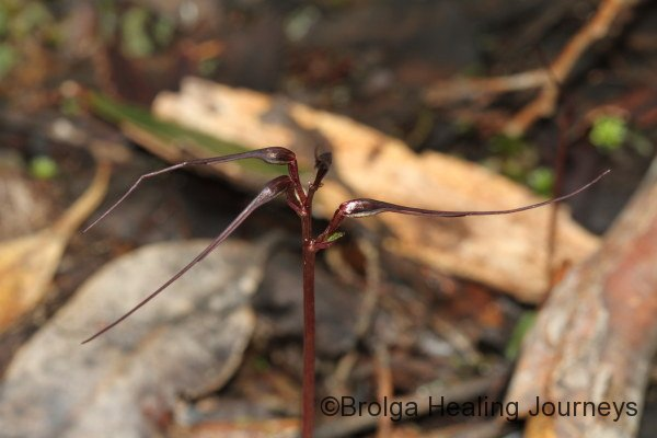 Mayfly orchid - Acianthus caudatus