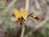 Donkey Orchid - Diuris orientis