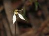 Parsons Bands orchid - Eriochilus cucullatus