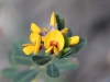 Another beautiful Bush Pea - Pultanaea sp.