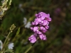 Hardenbergia violaecea - Native Lilac