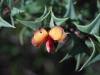 Holly Leaf Flat Pea - Platylobium obtusangulum