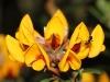 Kangaroo Island Bush Pea - Pultenaea trifida