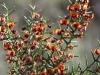 KI Bitter-pea - Daviesia asperula ssp. asperula