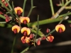 Leafless Bitter-pea - Daviesia brevifolia