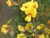 Narrow Leaf Bush Pea - Pultenaea tenuifolia