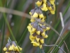 Possibly the Golden Spray - Viminaria juncea