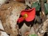 Scarlet Runner - Kennedia prostrata