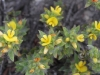 Three Nerve Bush Pea, I think,  Pultenaea trinervis