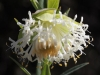 Closeup of KI Riceflower - Pimelea macrostegia