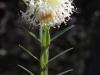 KI Riceflower - Pimelea macrostegia