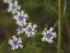 Slender Smoke-bush - Conospermum patens