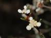 Flinders Chase Spyridium - Spyridium halmaturinum var.integrifolium